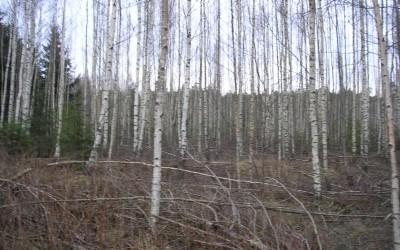 Noore metsa hooldus ja väiksemad raietööd